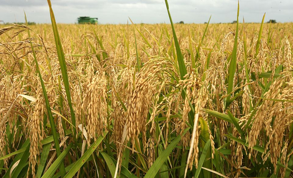 Chinese Researchers Launch Simple Fertilisation Needs For Rice Growth