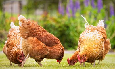 Niger State Records Outbreak of Avian Flu