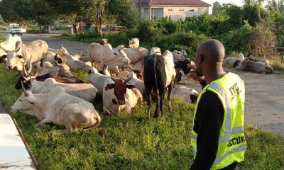 34 Cows Confiscated For Violating Anti-Open Grazing Law In Bayelsa