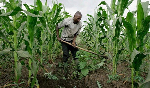 Insecurity: Maize Farmers Record N30bn Loss